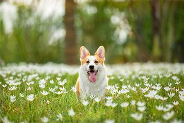 ¿Los perros pueden ser entrenados para ser detectores de coronavirus?